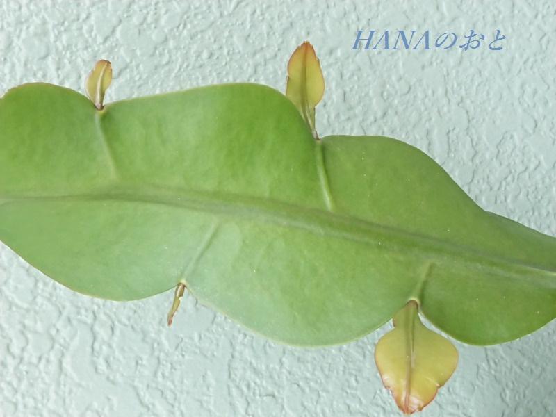 葉状茎の芽がのびたところ