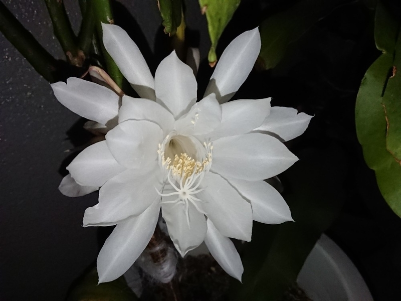 月下美人の花7