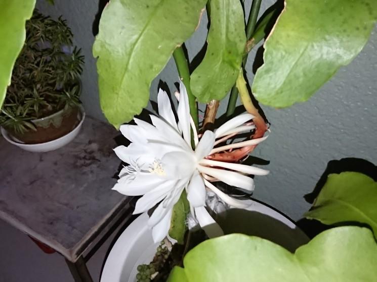 月下美人の花4