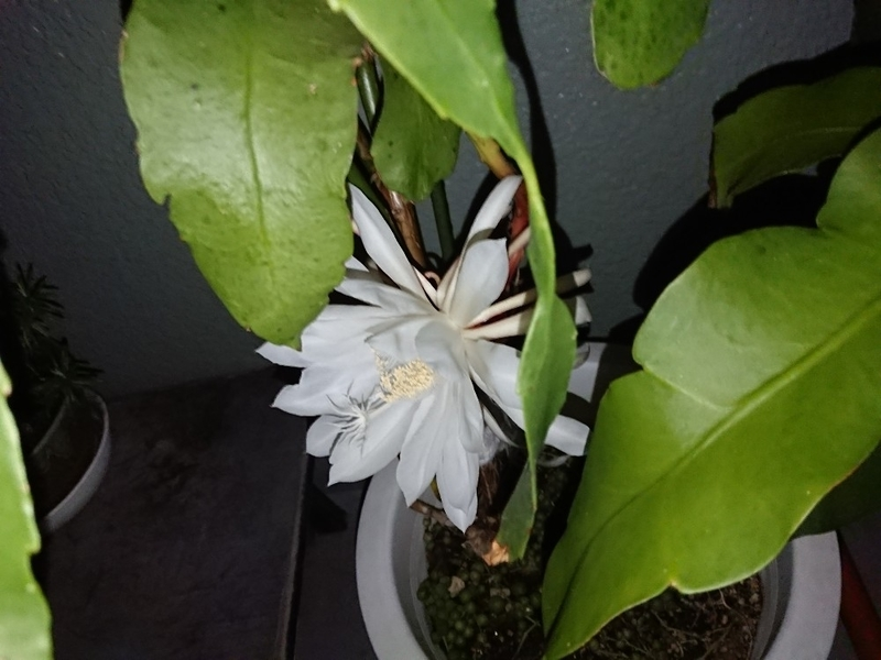 月下美人の花2