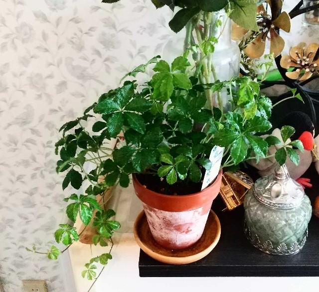観葉植物シュガーバイン