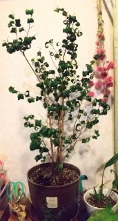 観葉植物ベンジャミンバロック