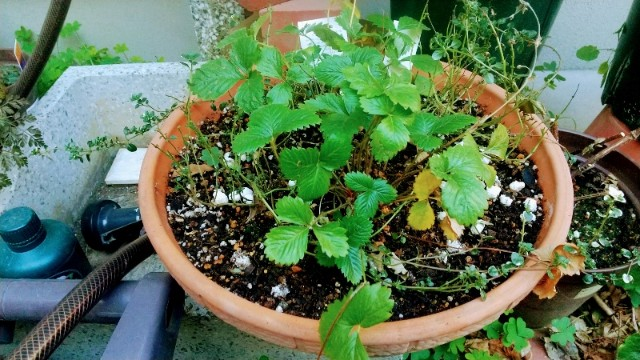 ハーブの植わった鉢タイムとワイルドストロベリー