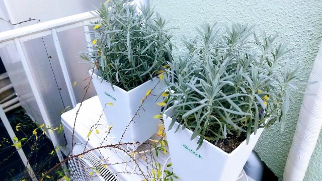 プラ鉢に植わったラベンダー