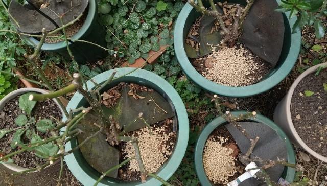 バラの肥料やり方