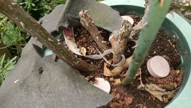 鉢バラの肥料やり方