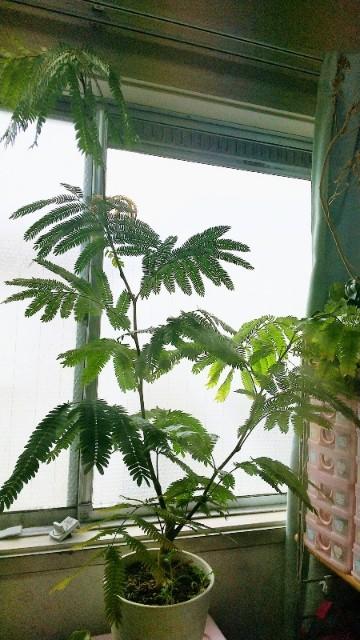 観葉植物エバーフレッシュ