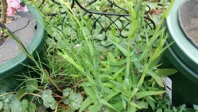 庭に定植した苗