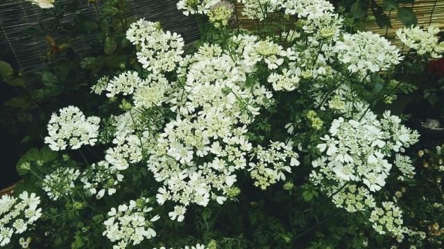 花オルレア