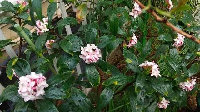 沈丁花赤花