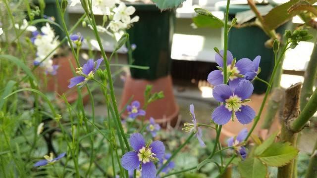 ヘリオフィラ青花