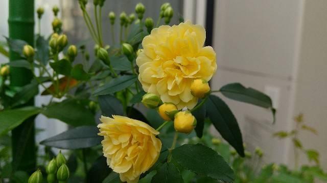 黄色の木香薔薇