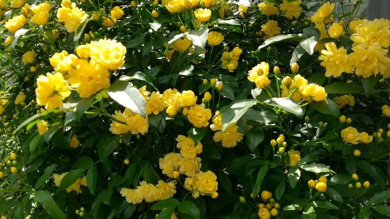 木香薔薇八分咲き