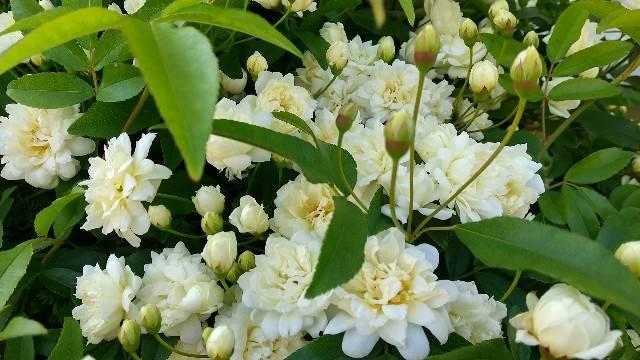 木香薔薇白