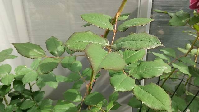 ラデュレの葉