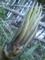 筍の頭は冠