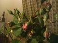 薔薇を生け花に