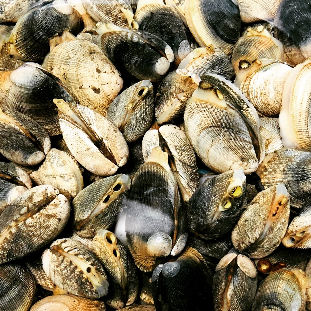 今年はアサリが大漁