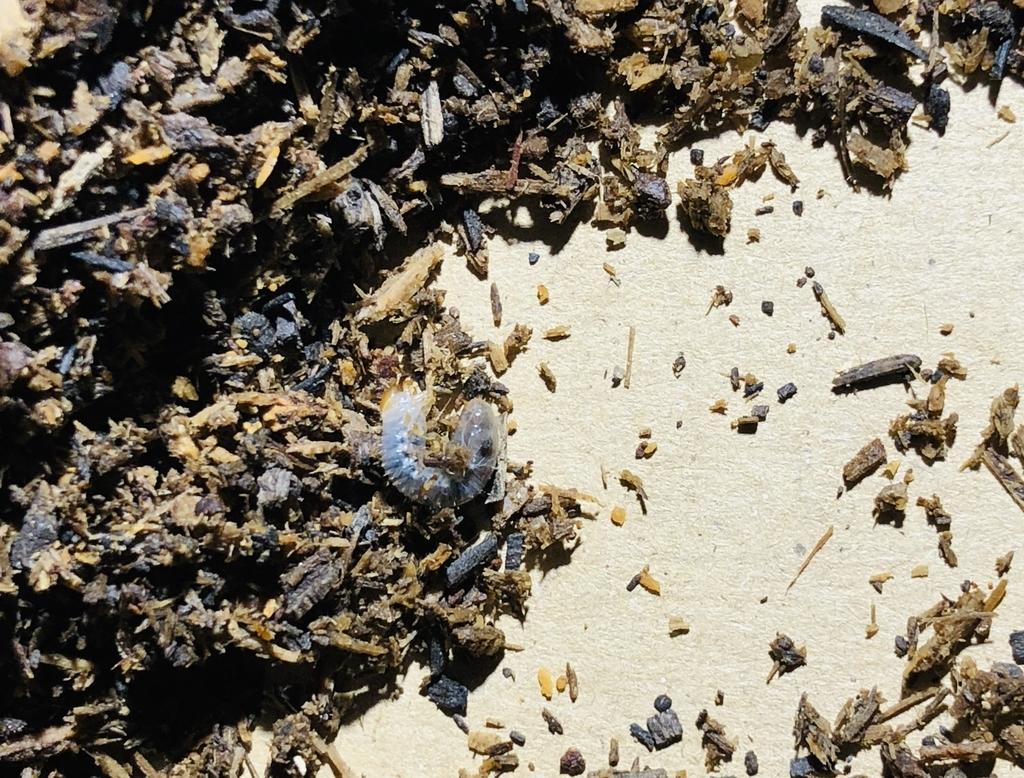 すでに産まれていた小さなカブトムシの幼虫