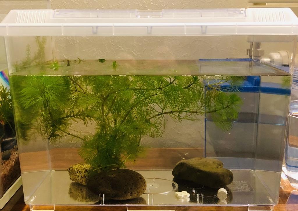 メダカの稚魚用の飼育水槽