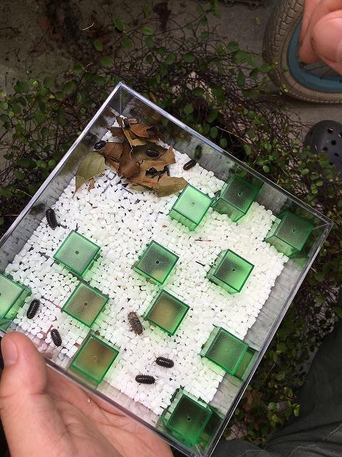 ダンゴムシを飼育ケースに入れる
