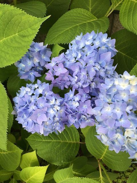 濃いブルーになってきた紫陽花