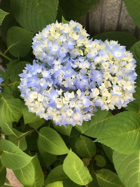 薄い水色の紫陽花