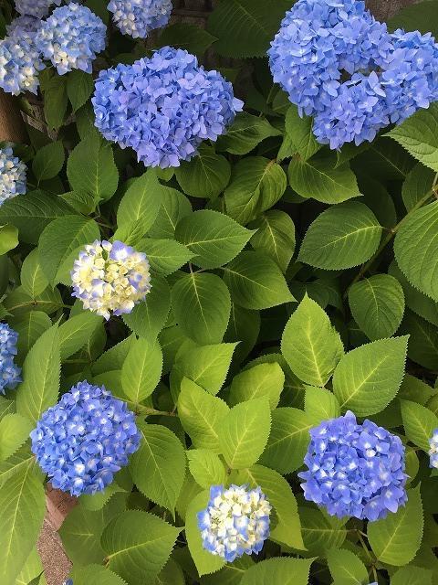 庭の紫陽花6月