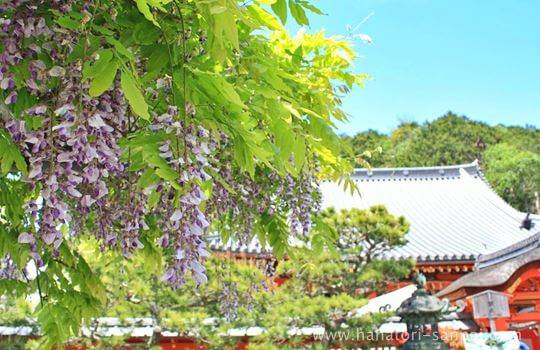 毘沙門堂門跡の藤の花