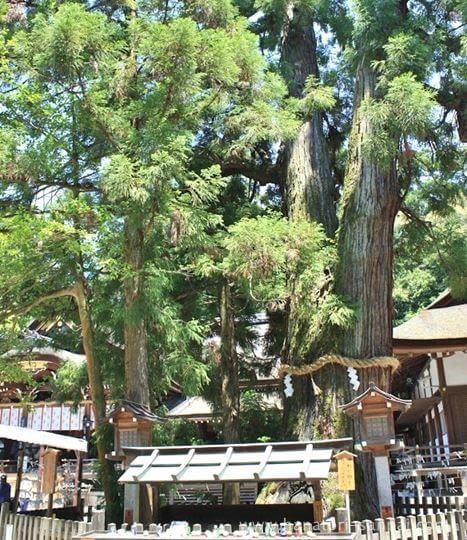 大神神社の巳の神杉