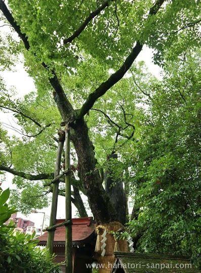 堀越神社の御神木
