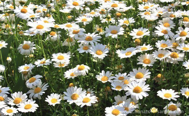 法雲寺の菊