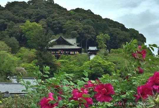 長谷寺の本堂と牡丹