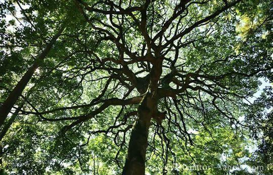 廣瀬大社の参道の木