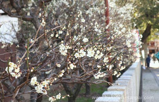 萩原天神の参道に咲く梅