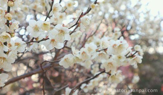 萩原天神の梅園の梅