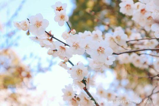萩原天神の梅園に咲く花