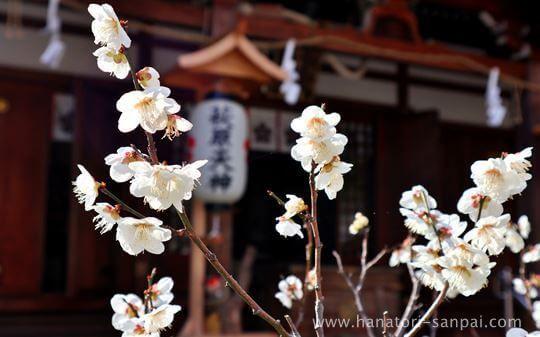萩原天神の社殿前の梅の花