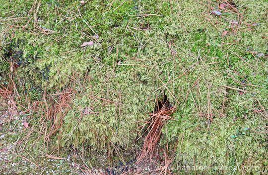 高野山壇上伽藍の三鈷の松の葉