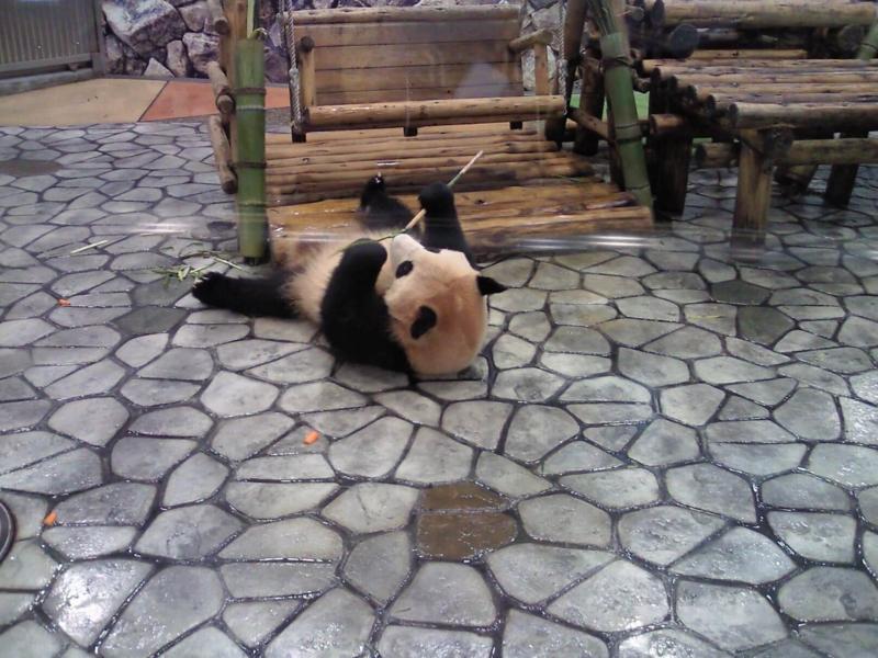 アドベンチャーワールド:パンダ寝る