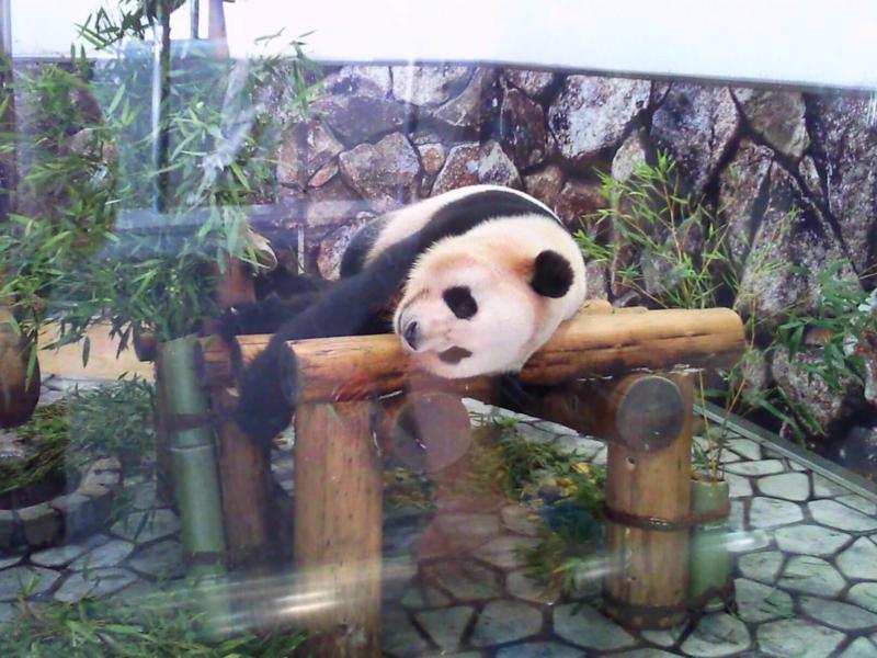 アドベンチャーワールド:パンダ倒れる
