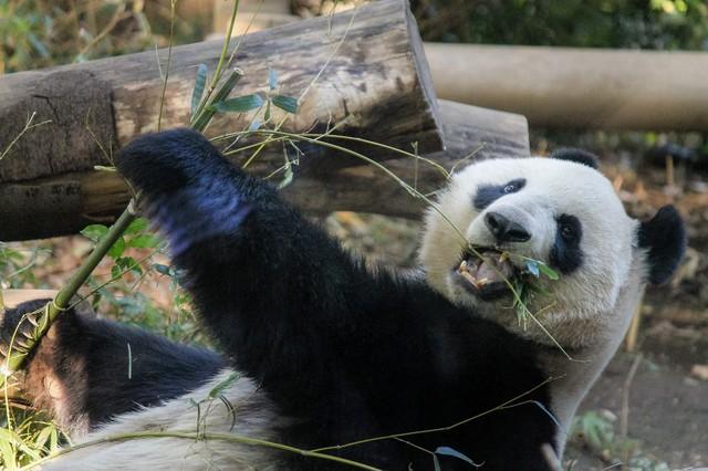 アドベンチャーワールド:パンダ
