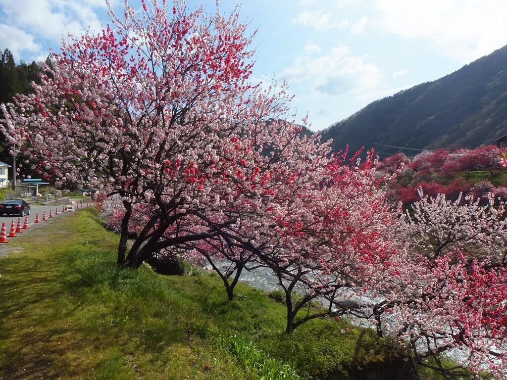 花桃の里風景