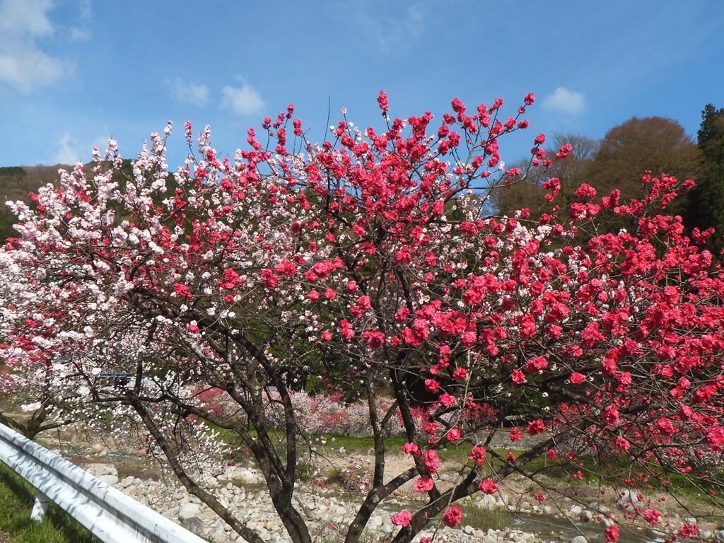 花桃の里赤色