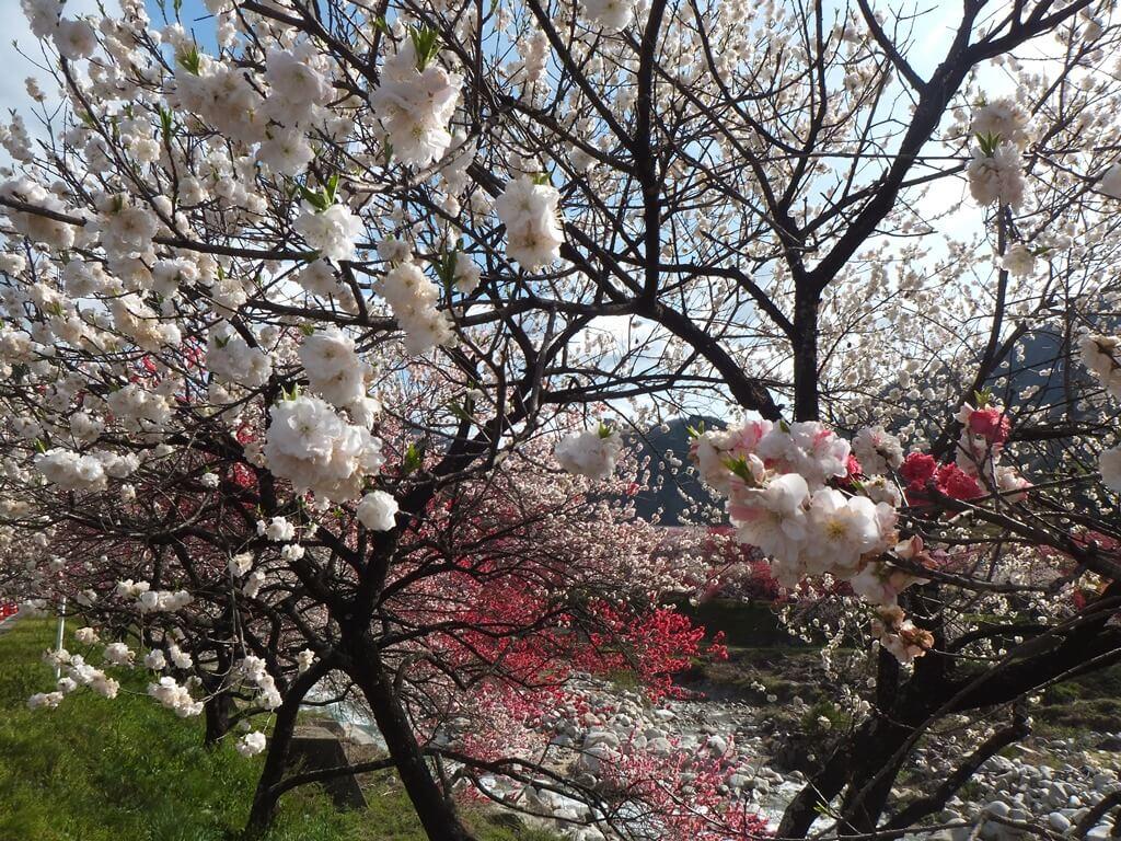 花桃の里白色