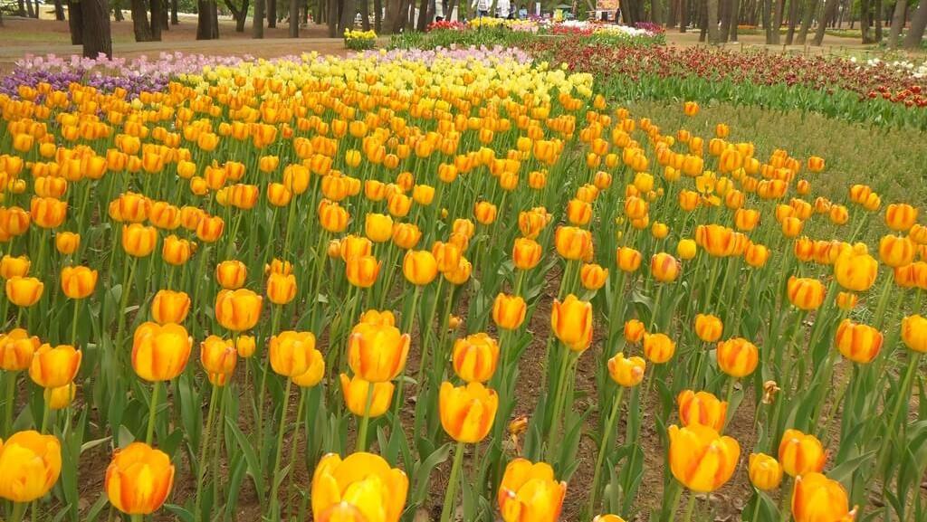 ひたち海浜公園 チューリップ黄色
