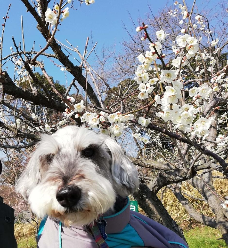 愛知県内でペットと遊ぶ:佐布里池梅まつり