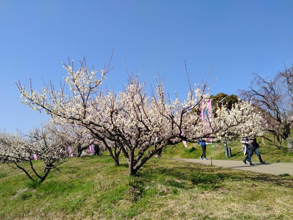 ペットと遊ぶ:佐布里池梅まつり 白い梅