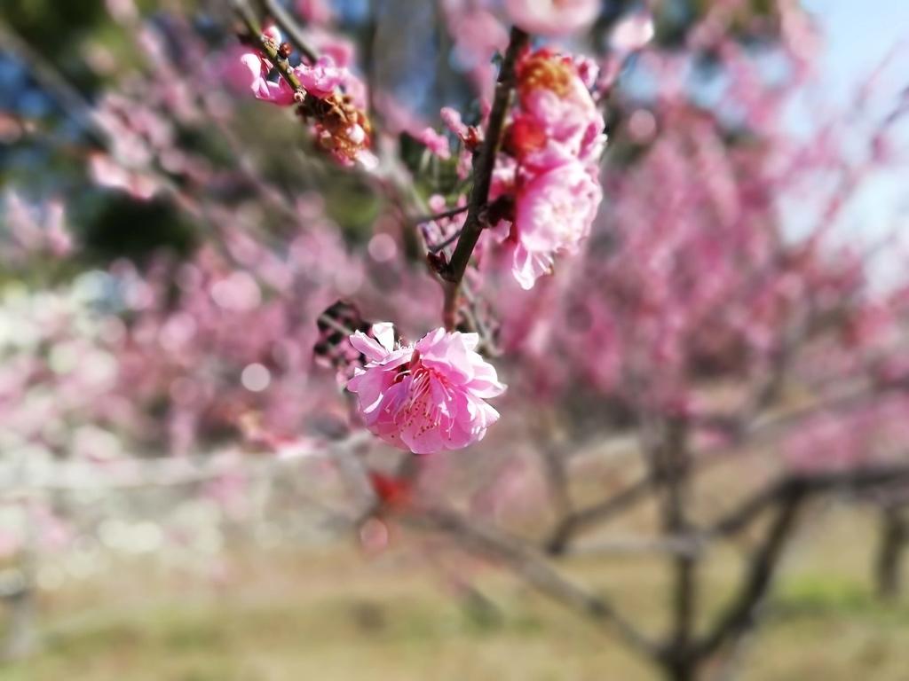 ペットと遊ぶ:佐布里池梅まつり 赤色の梅