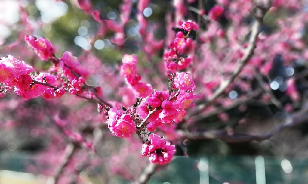 ペットと遊ぶ:佐布里池梅まつり 桃色の梅